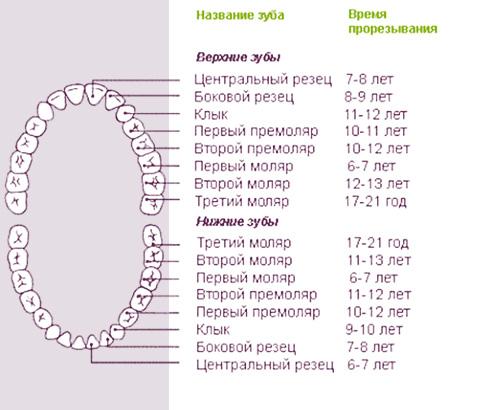 Примерные сроки прорезывания постоянных (коренных) зубов