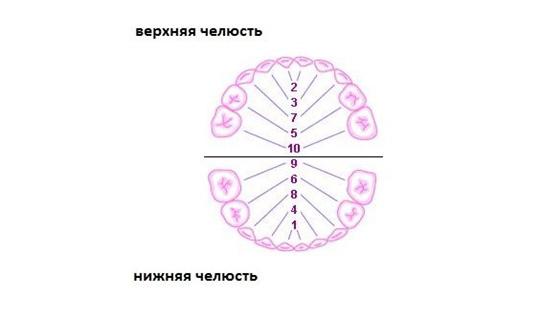 Примерный порядок появления молочных зубов (цифрами указаны порядковые номера зубов, т.е. какими по счету они обычно появляются).