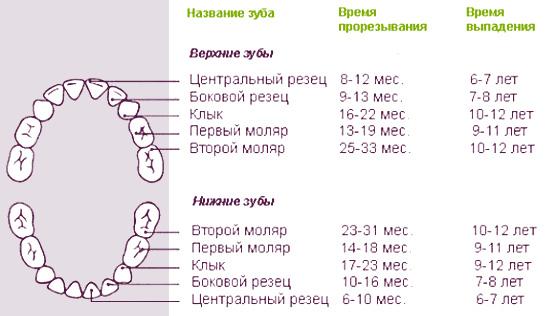 Примерные сроки прорезывания и выпадения молочных зубов